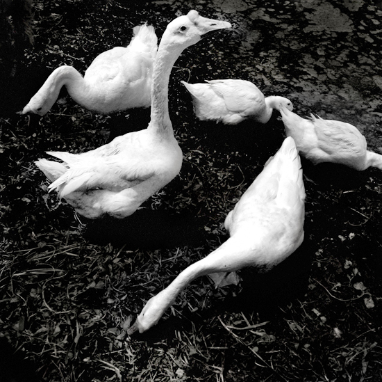 fine art photography, geese, long island, holiday print sale