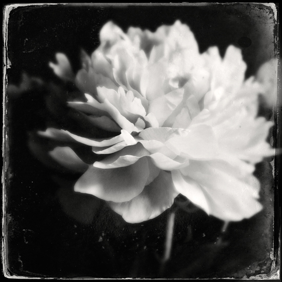 fine art photography, black and white photography, flora