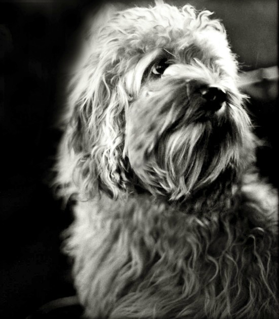 black & white portrait of a dog, cock-a-poo